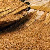 Впливає на підвищення врожайності та якість зерна