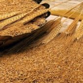 Безводный аммиак влияет на повышение урожайности и качество зерна