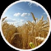 Підвищення врожайності за рахунок внесення безводного аміаку