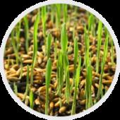 Препарати для обробки посівного матеріалу
